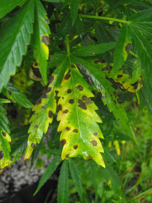 """""""Leaf septoria or Yellow leaf spot is caused by Septoria cannabis and S. neocannabina, both of ..."""