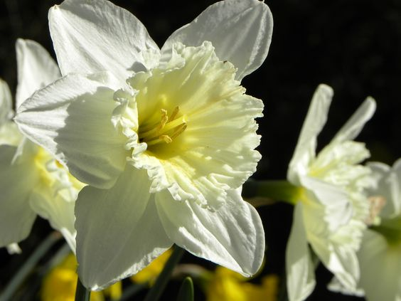 Late evening sun on the daffodils in our garden.