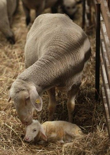 A merino lamb lies next to its mother moments after its birth in Gross Kreutz, Germany. Such a sweet photo.