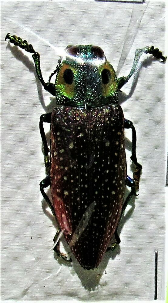 Lot Of 10 Madagascar 4 Eye Jewel Beetle Lampropepla Rothschildi 35