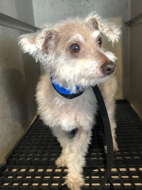 Peter Is An Adoptable Chinese Crested Dog Searching For A Forever