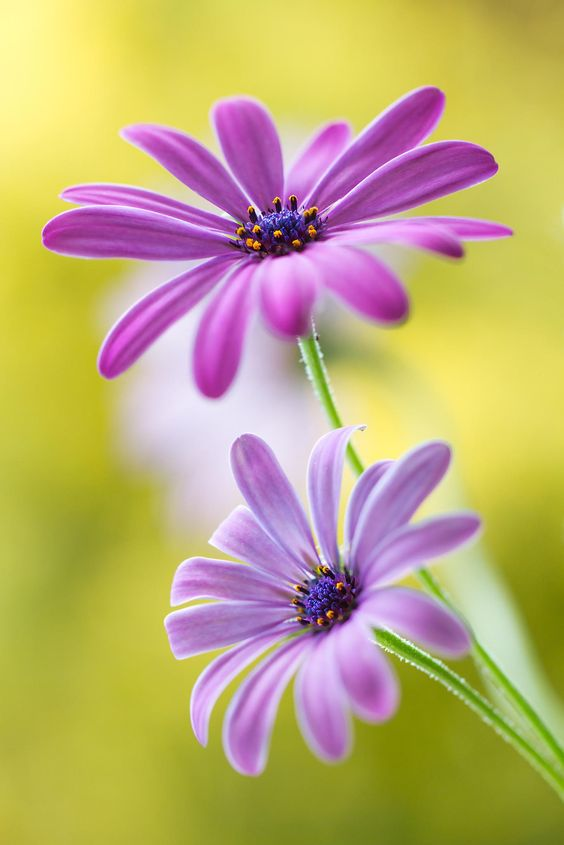 Cape daisies by Mandy Disher on 500px: