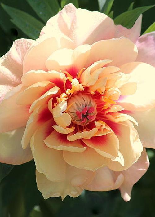 Peach Peony by Rosanne Jordan