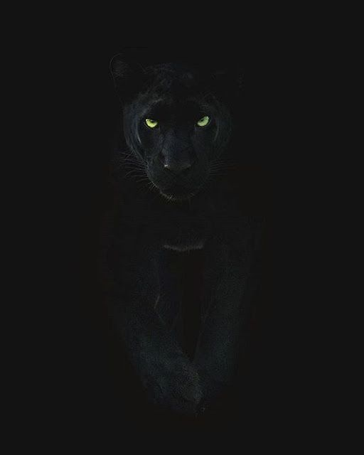 خلفيات الفهد الاسود خلفيات الفهد الاسود النمر الأسود هو نوع من الن Black Jaguar Animal Black Panther Cat Puma Animal Black