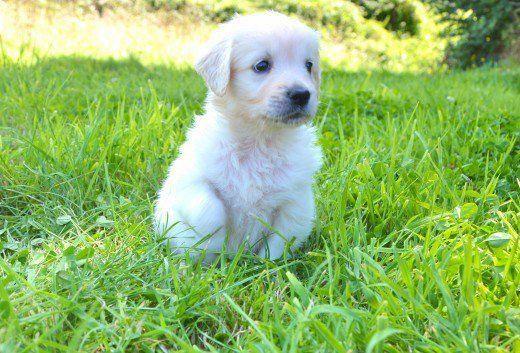 White Golden Retriever Puppy Prettydogs In 2020 White Golden