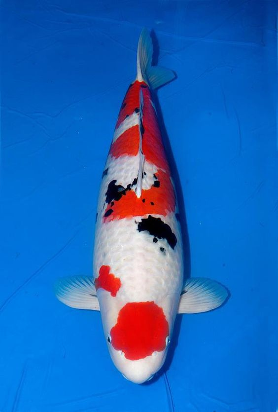 Grand champion a biv sanke rinyukai indonesia super for Champion koi fish