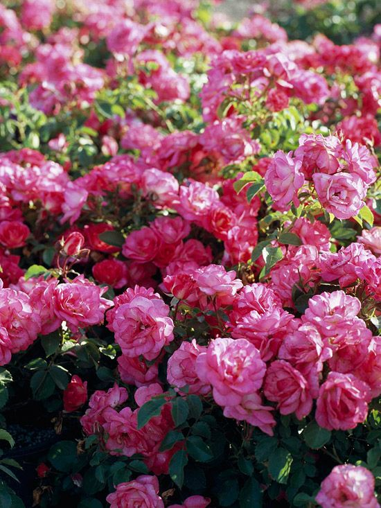 Sunrise Sunset Shrub Rose