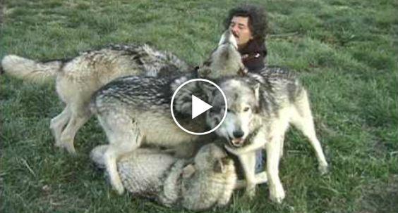 Fotógrafo é Atacado Por Lobos Que o Recebem Com Mimos Quando Tentava Fotografá-los http://www.funco.biz/fotografo-atacado-lobos-recebem-mimos-tentava-fotografa-los/