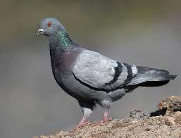 Afbeeldingsresultaat voor twee duiven