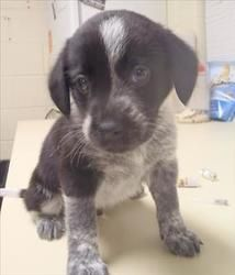 Dallas Is An Adoptable Australian Cattle Dog Blue Heeler Dog In