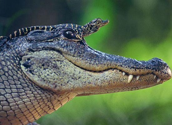 Aligator Familie;