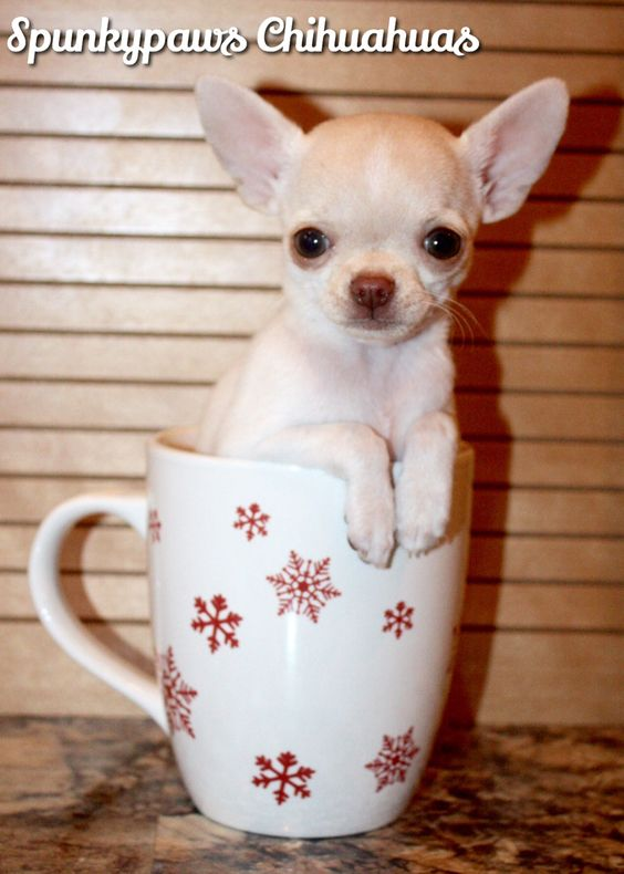 Meet Gizmo A Cute Chihuahua Puppy For Sale For 500 Teacup
