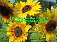 The earth laughs in flowers. Ralph Waldo Emerson #Quotes about #sunflowers.