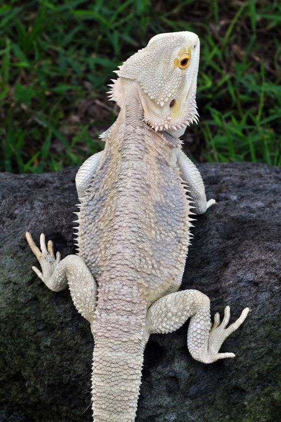 White Bearded Dragon | www.imgkid.com - The Image Kid Has It!