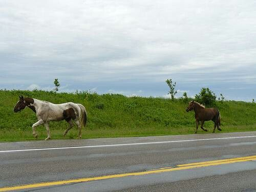 Some horses running down the main road back in vrizenveensewijk Holland
