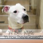 """Pit Bull Myths: """"It's How They're Raised."""""""