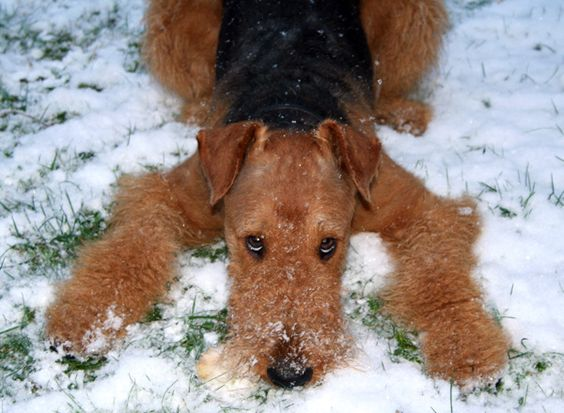 -The Airedale Terror - So typical!