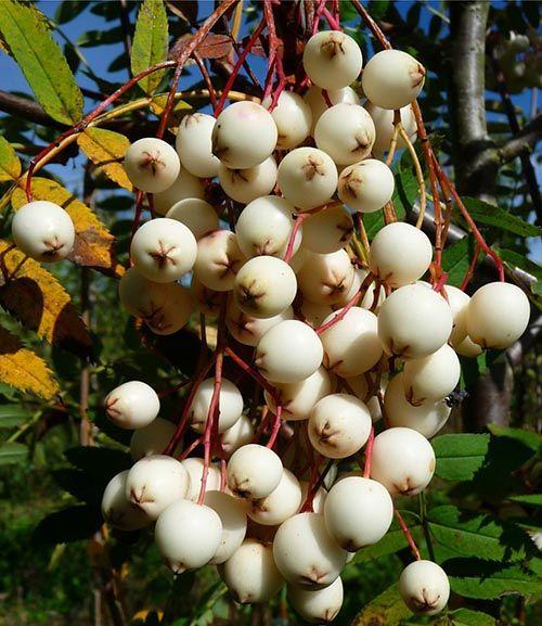 Sorbus Cashmiriana Tree Rowan Tree Flowers Uk Winter Shrubs
