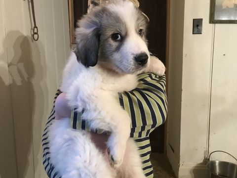 Litter Of 9 Great Pyrenees Puppies For Sale In Wingina Va Adn