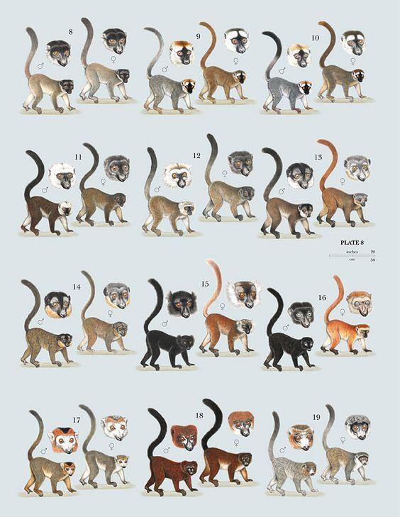 Family Lemuridae (Bamboo, True and Ruffed Lemurs)