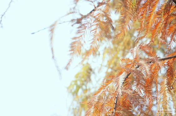 20150102【落羽松之冬】 早安,去年依舊沒機會拍到楓葉, 但是沒關係,今年有拍到變色的落羽松了^O^Y
