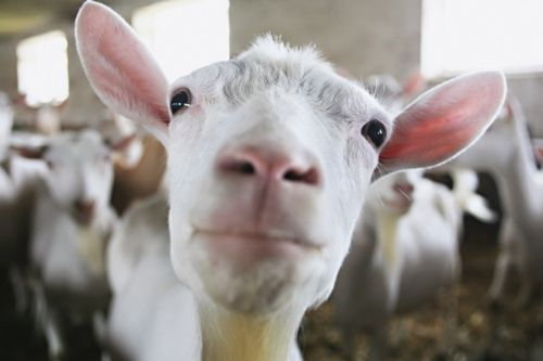 Almost human!: Adorable Animals, Animals The Unspeakables Not, Goats Accents, Cute Animals, 16 Goats, Animals Birds, Awesome Animals