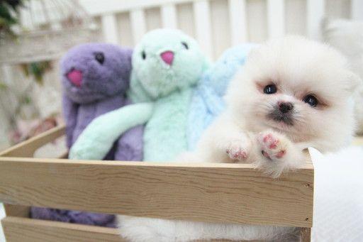 Pomeranian Puppy For Sale In San Jose Ca Adn 64148 On