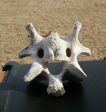 super cute cow vertebrae!