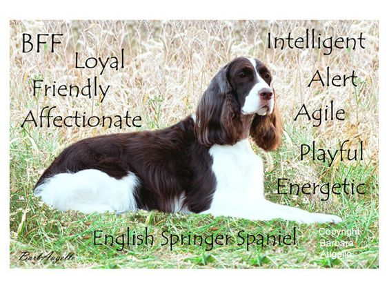 English Springer Spaniel Traits Metal Art Print by Barbara Augello for Dogimage