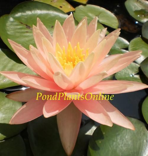 Assorted Peach Hardy Waterlily Water Lilies Water Lily Pond Pond Plants