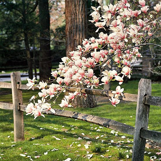 10 Best Flowering Trees And Shrubs For Adding Color To Your Yard Magnolia Tree Landscaping Flowering Trees Magnolia Trees