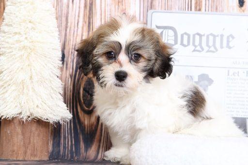 Zuchon Puppy For Sale In Bel Air Md Adn 71388 On Puppyfinder Com