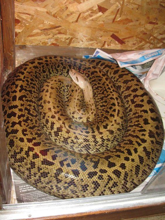 granite burmese python snakes pinterest burmese