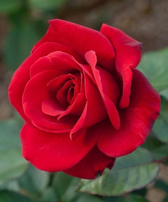 Strong Fragrant Red Rose Flower 50 Seeds  Big Blooming Garden Rose