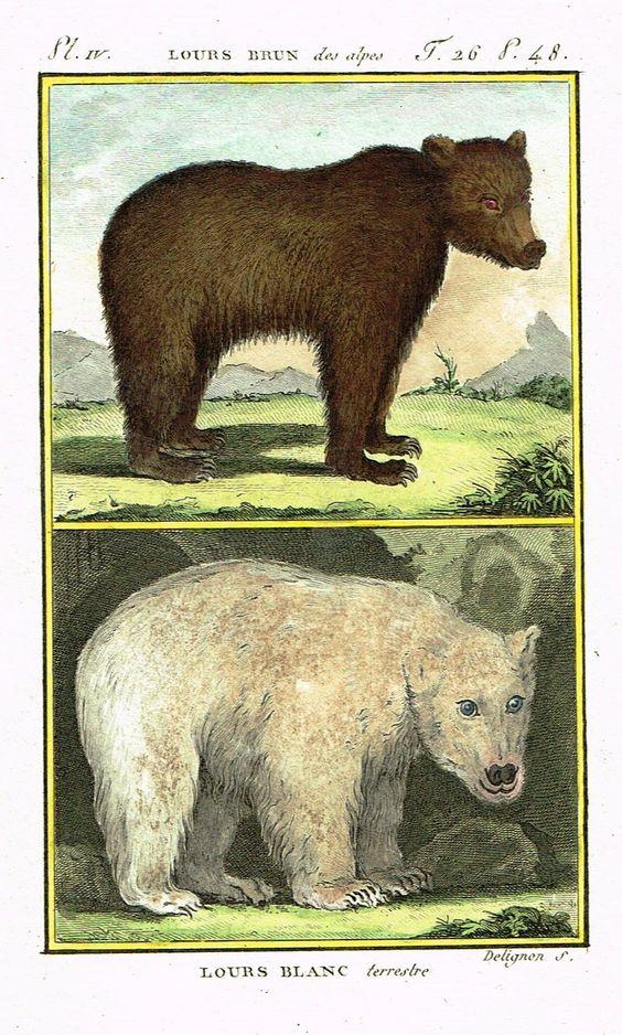 "Buffon's Histoire Naturelle - ""LOURS BRUN & BLANC (BEAR)"" - Copper Engraving - 1799"