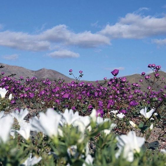 "usatoday: ""After a historic rainfall this year the world's driest desert is now in full bloom. The #Atacama Desert in Chile has exploded into a blanket of red purple and green in a rare occurrence that is known as ""desierto florid."" Photo by Carlos Aguilar AFP/Getty Images. http://usat.ly/1GBH7Mr  #BloomingDesert #Chile"""