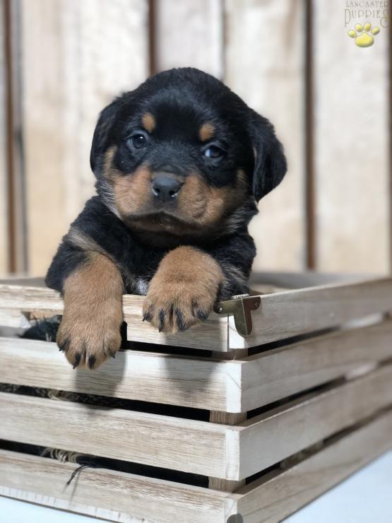 Rottweiler Rott Sweet Charming Puppiesofpinterest Pinterestpuppies Lancasterpuppies Puppies Pup Rottweiler Puppies Puppies Rottweiler Puppies For Sale
