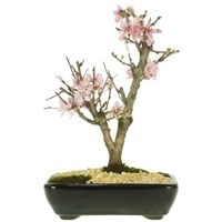 Bonsai Cereja Flor Sakura 04 anos