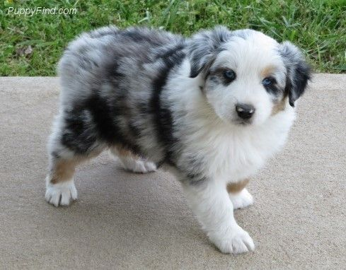 Pin By Pjai Perrin On Aussie Dog House Aussie Puppies Cute Funny Dogs Australian Sheep Dogs