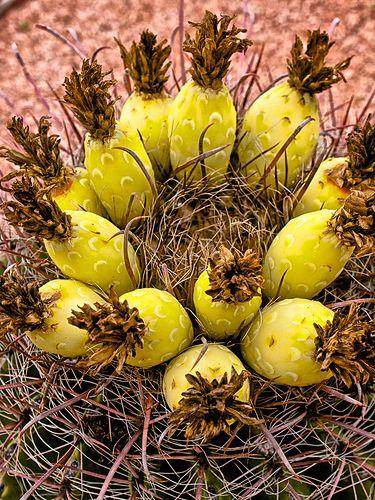 Barrel Cactus Fruit: