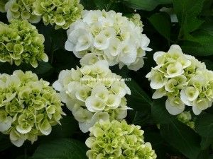 HORTENSIA Dutch Ladies ® 'Shakira'
