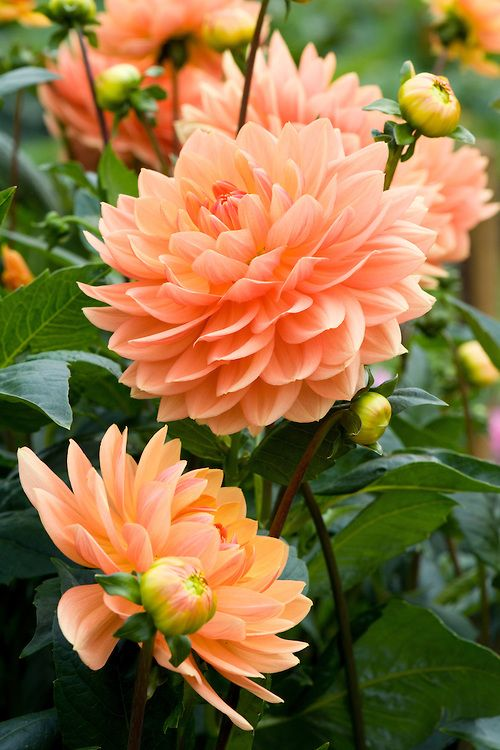 This is another example of a dahlia that would be used as the main flower the bouquets and arrangements.: