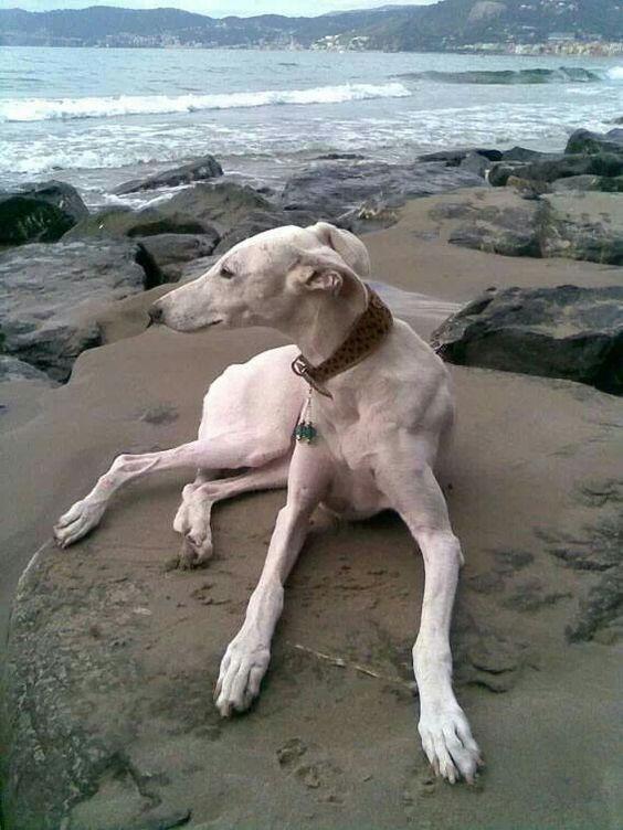 White greyhound at the beach. This dog is perfect. hip hop instrumentals updated daily => www.beatzbylekz.ca