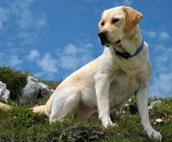 Labrador Retriever sharpalignment