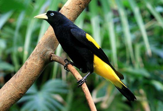 Japim ou Xexeu Pássaros | FEOMG - Federação Ornitológica de Minas Gerais