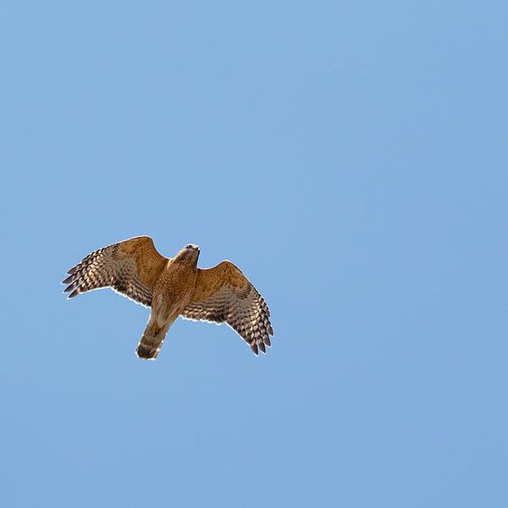 #hawks #birdofprey
