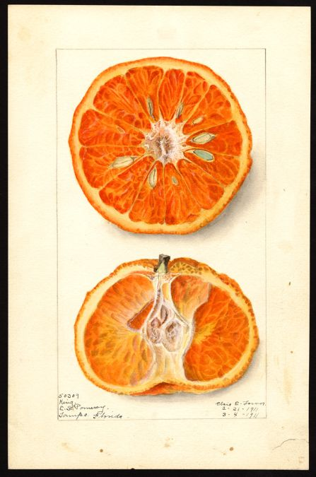 "heaveninawildflower: Citrus nobilis (tangors). Watercolour (1911) by Elsie E. Lower. ""U.S. Department of Agriculture Pomological Watercolor..."