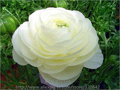 Amazon Com 20 Pcs Bag Ranunculus Asiaticus Flower Seeds For Home Garden Diy Plants Persian Buttercup Seed Flower Bulbs Bulb Flowers Flower Seeds Diy Plants