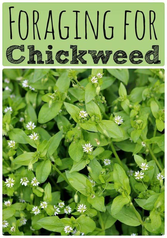 Foraging For Chickweed Edible Wild Plants Medicinal Plants