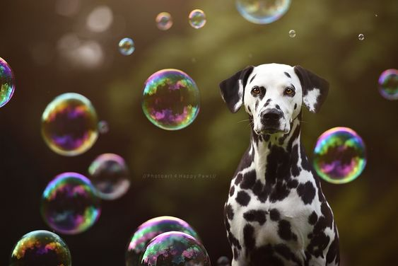 Dalmatian dog with Bubbles by Anne Geier on 500px